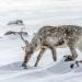 Polarnacht - Skandinaviens Wildnis im Winter