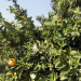 Das Land, wo die Orangen blühen: Sonnenziel Valencia