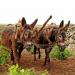 Der Esel - Vom Wüstentier zum Weggefährten