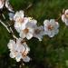 Bilder zur Sendung: Der Duft der Marille - Die sonnige Frucht der Wachau