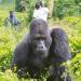 Unter Gorillas - Überleben in der Horde