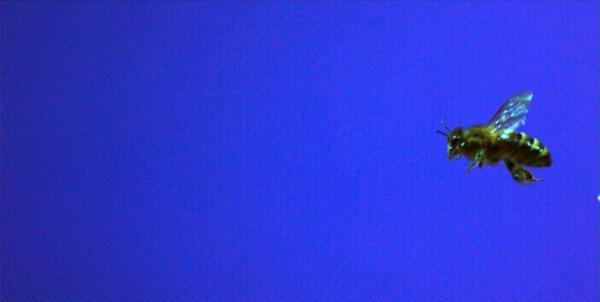 Bild 1 von 4: Solarzellen waren gestern, heute experimentieren Forscher mit künstlichen Blättern, die mit Hilfe von Sonnenenergie Wasserstoff herstellen. Oder erproben, ganze Städte nach dem thermischen Vorbild eines Termitenbaus zu klimatisieren. Wie Inspirationen aus der Natur vielleicht auch die Energieprobleme der Menschheit lösen könnten, zeigt die dritte Folge. Eine Dokumentation von Alfred Vendl und Steve Nicholls. Im Bild: Bienen - Flugstudie.