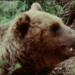 Die letzten Bären in den Alpen