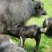 Die Büffelranch