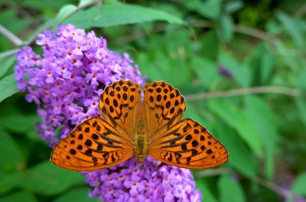 Bild 1 von 4: Der Schmetterlingsflieder trägt seinen Namen, da sein Nektar viele Insekten und vor allem Schmetterlinge anlockt. Er kommt ursprünglich aus China und kann auf beinahe jedem Untergrund wachsen.