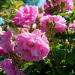 Bilder zur Sendung: Rose - Königin der Blumen