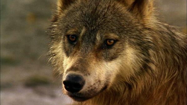 Bild 1 von 1: Kanadischer Küstenwolf.
