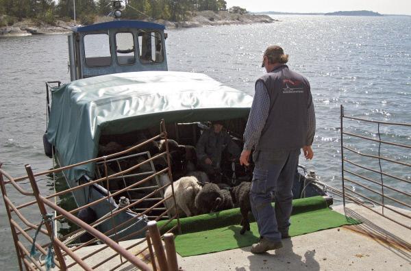 Bild 1 von 4: Mit dem Boot zur Sommerweide : Schafstransport in den Schären.