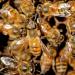 Afrikas wilde Bienen