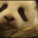 Fu Long - Kleiner Panda ganz groß