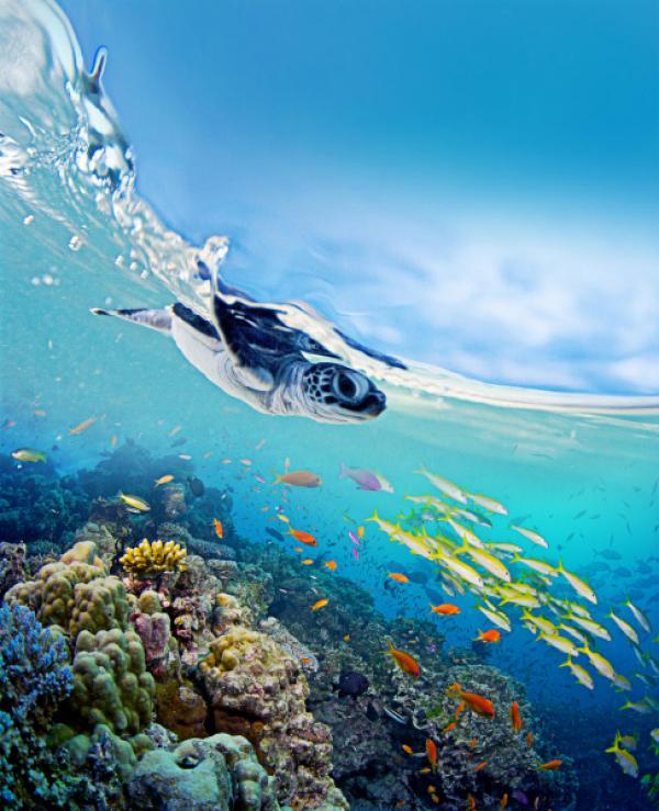 Bild 1 von 11: Grüne Meeresschildkröte am Ribbon Reef vor Raine Island