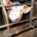 Fleisch um jeden Preis - Was geschieht mit den Schweinen?