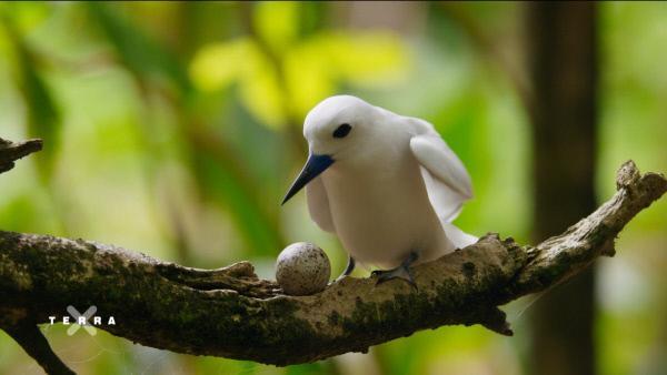 Bild 1 von 4: Die Feenseeschwalbe brütet ihr Ei ungeschützt auf einem Ast aus. Was wie blindes Vertrauen wirkt, macht auf den Seychellen durchaus Sinn. Ein aufwändiger Nestbau entfällt, und die Abgeschiedenheit der Inseln führte dazu, dass es hier kaum Eierdiebe gibt.