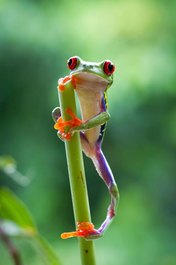 Bild 1 von 15: Ein Rotaugenfrosch legt eine Kletterpause im Regenwald von Costa Rica ein.