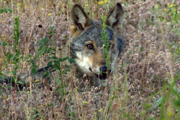 Bild 1 von 3: Wölfe sind sehr aufmerksam und gut getarnt.