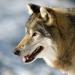 Die Odyssee der einsamen Wölfe