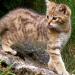 Abenteuer Erde: Wildkatzen - Versteckt in Deutschlands Wäldern