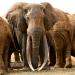 Unter Elefanten - Überleben in der Herde