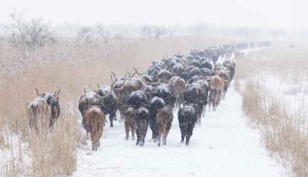 Bild 1 von 3: Auch im Winter ziehen die Heckrinder quer durch die Oostvaardersplassen
