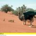 Bilder zur Sendung: Strauße - Sprinter der Kalahari