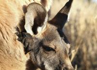 Der K�nguru-Mann - Williams Weg in die Wildnis