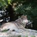 Die Rückkehr der Wölfe - Schießen oder schützen?