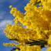 Mimose - die Frühlingsbotin