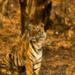 Die R�ckkehr des Tigers