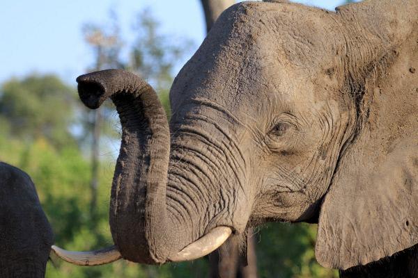 Bild 1 von 7: Perfekter Geruchssinn: Mit erhobenem Rüssel wittern Elefanten in die Ferne. So können die grauen Riesen Artgenossen selbst über große Distanzen identifizieren.