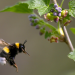 Hummeln - Bienen im Pelz