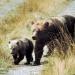 Goldgräber und Grizzlybären