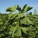 Ginkgo - Odyssee eines Wunderbaums