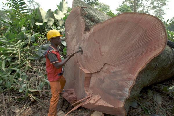 Bild 1 von 4: Gefällte Bäume werden im Sinne der Rückverfolgbarkeit markiert.