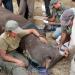Nashörner für die Serengeti