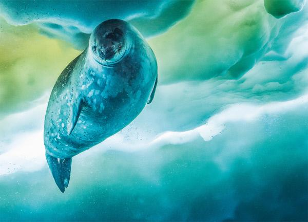 Bild 1 von 15: Die Weddellrobbe ist das am südlichsten lebende Säugetier des Planeten. Um ihr Luftloch freizuhalten, fräst die Robbe Löcher ins Eis.