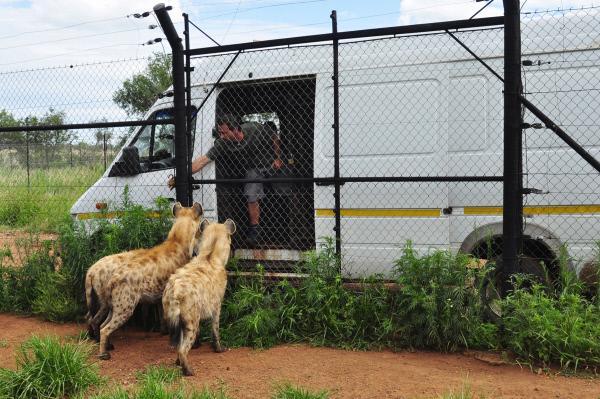 Bild 1 von 4: Kevin Richardsons Hyänen ziehen um: Wird die beim Transfer in das südafrikanische Naturschutzgebiet Dinokeng entstehende Anspannung eine Aufteilung in mehrere Clans notwendig machen?