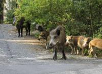 Wildschweine vor der Haustür - Kampf gegen die Plage