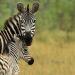 Serengeti - Helden der Savanne