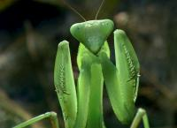 Das Alien-Insekt - Die Gottesanbeterin