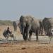 Arena der Elefanten - Graue Riesen unter sich