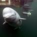 Das Rätsel um die Belugawale
