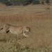 Tödliches Afrika - Angriff der Raubkatzen