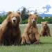 Grizzlys hautnah - Bären wie wir