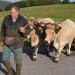 Bilder zur Sendung: Aubrac - Kühe, Käse, Kerle!