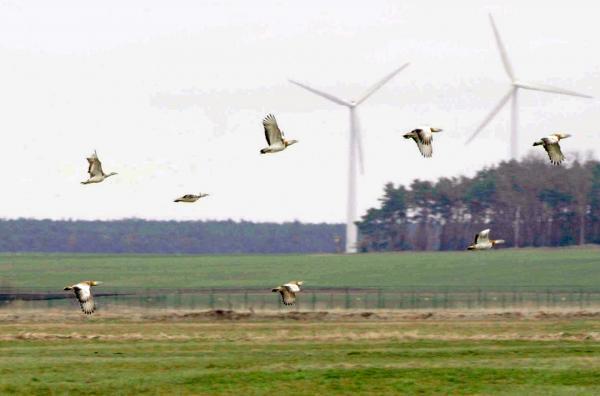 Bild 1 von 4: Großtrappen sind die schwersten flugfähigen Vögel Europas. Bis zu 17 Kilo können die Hähne wiegen.