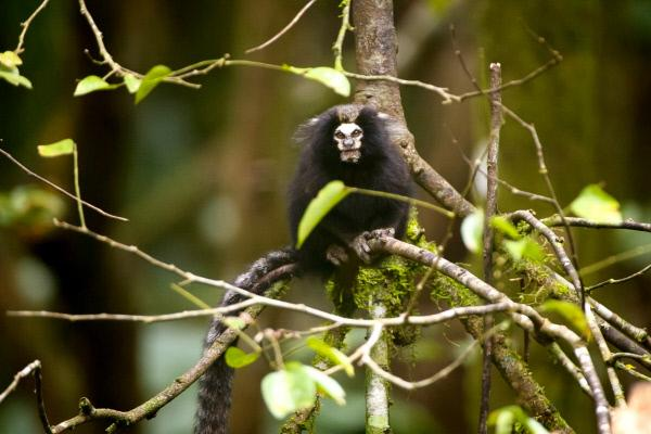 Bild 1 von 3: Auch Löwenäffchen sind im Naturreservat Serra do Mar innerhalb des Atlantischen Regenwaldes heimisch.