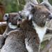 Bilder zur Sendung: Australien - In den Wäldern der Koalas