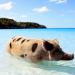 Die fabelhafte Welt der Schweine