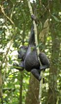 Angelique und die Gorillas