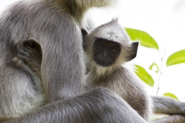 Bild 1 von 3: Hanuman-Languren sind Pflanzenfresser. Sie leben meist in Haremsgruppen zusammen.